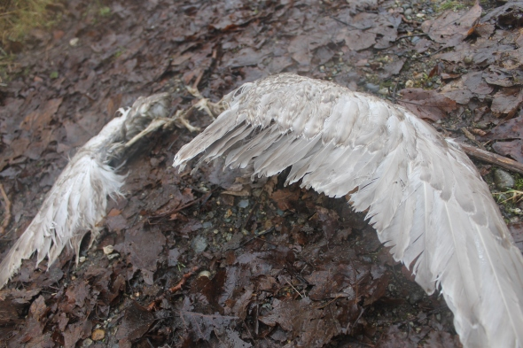 What appears to be the remains of a seagull mauled by a beast