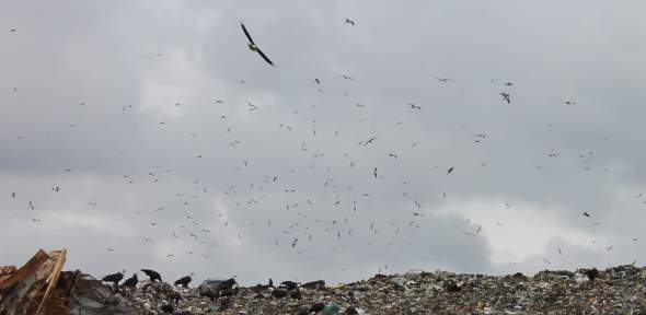 This is a picture that doesn't do justice to the massive number of birds at the landfill: instead think of sand on the seashore and stars in the sky.
