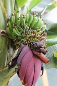 Yes, those are bananas, growing inside the house.
