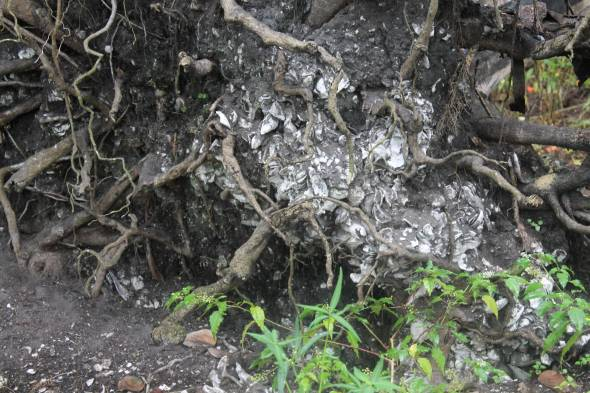 The roots of this tree are chock full of shells. The jungle feel of the mound, with its trees and bushes grew on a foundation of shells.
