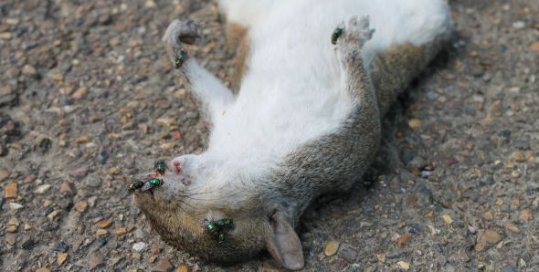 Roadkill Squirrel
