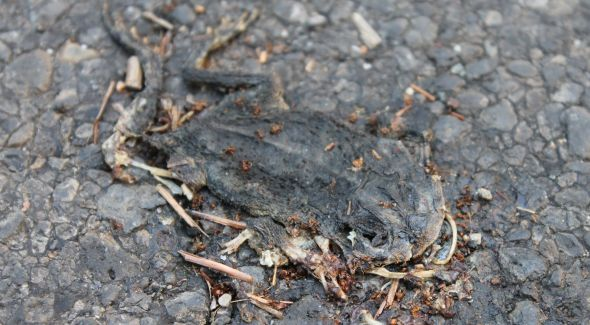 Roadkill Toad