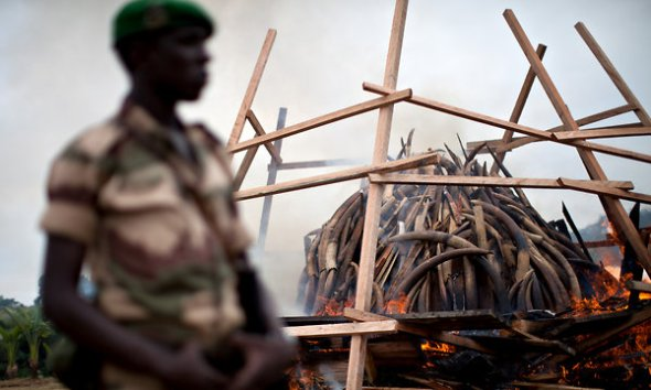 Burning confiscated ivory in Gabon. Image from NYT article.